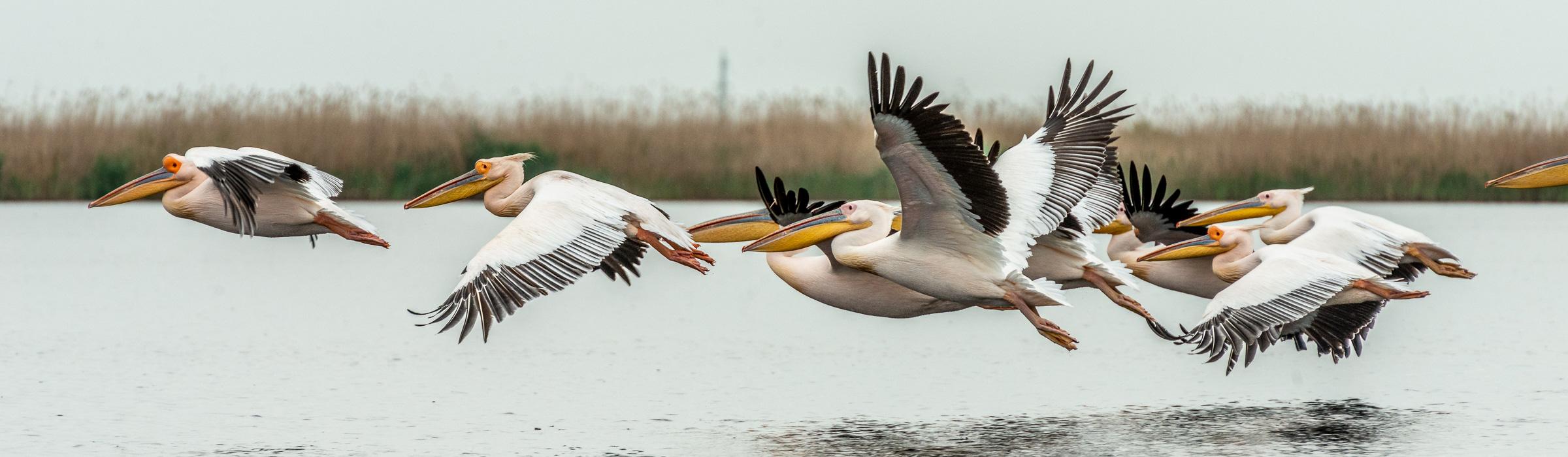 Rosa Pelikane im Donaudelta